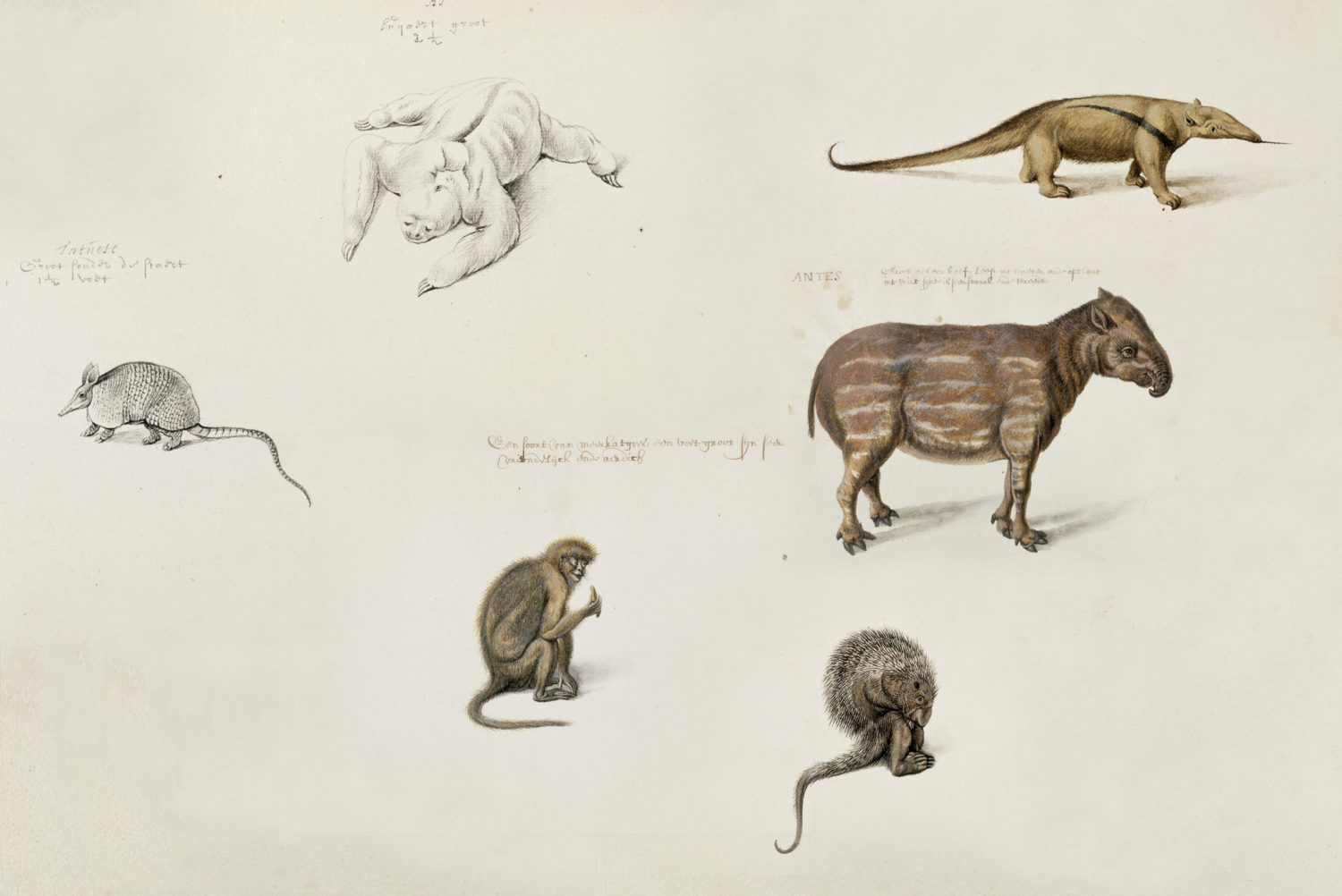 Brazilian animal drawings by Frans Post