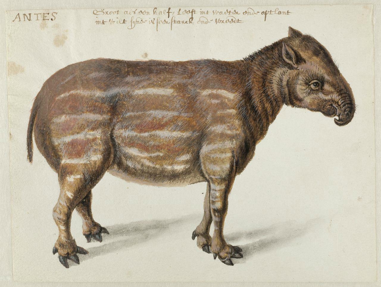 Ontdekt: Braziliaanse fauna getekend door Frans Post